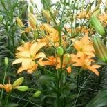 florium_lily_days02