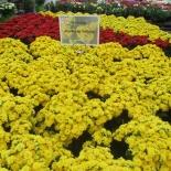 kalanchoe-perfecta-series-at-agriom-photo-newplantsandflowers-jpg