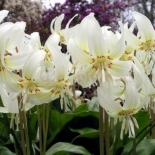 erythronium_white_beauty_