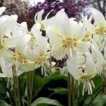 erythronium_white_beauty_