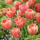 tulipa_menton_exotic