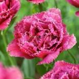 tulipa_mascotte