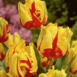 tulipa_texas_flame