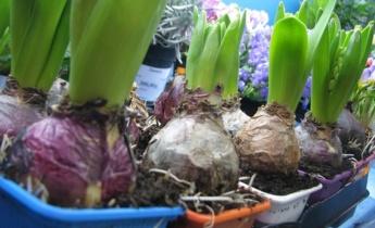 Как выбрать луковичные растения?