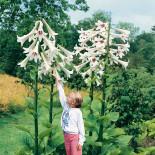 Кардиокринум – лилейное дерево в саду…