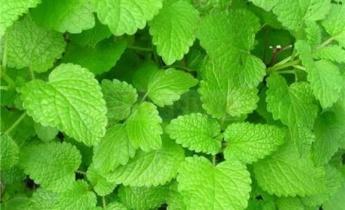 Какие аптечные растения можно вырастить  в саду?