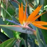 Чем примечательна стрелиция Райская птица?