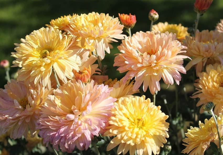 Хризантема садовая: посадка и уход фото описание