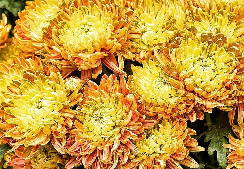 Подкормка домашней хризантемы фото описание