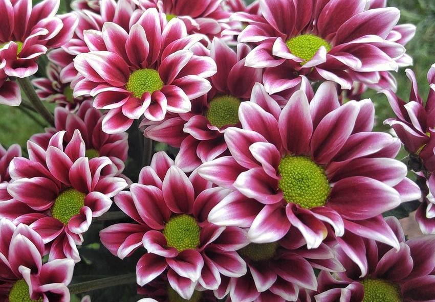 Виды и сорта хризантем фото описание