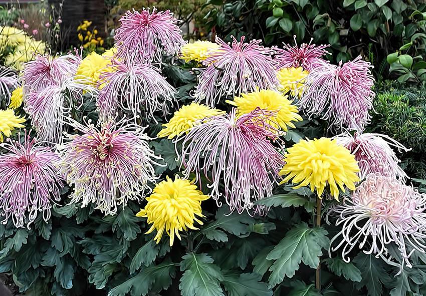 Правильная посадка хризантемы фото описание