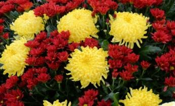 Как вырастить хризантемы?