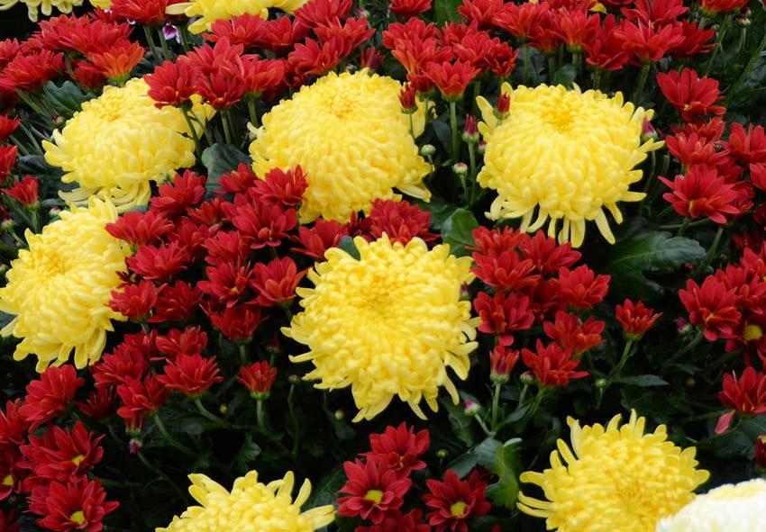 Как вырастить хризантемы фото описание