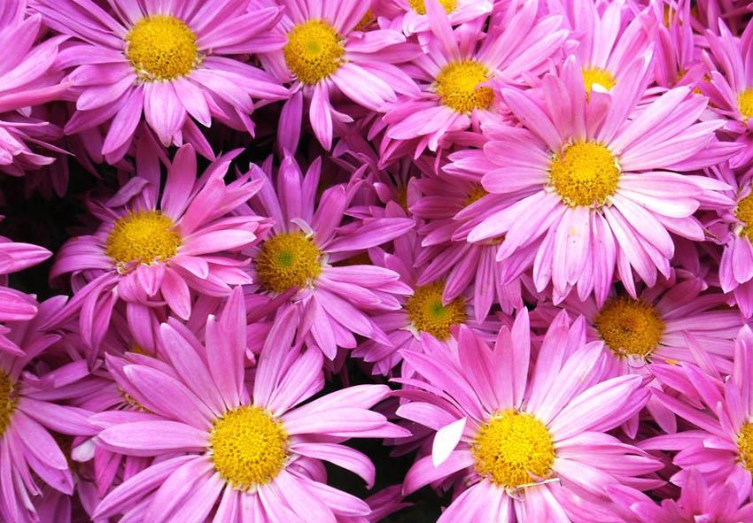 Домашняя хризантема уход фото описание