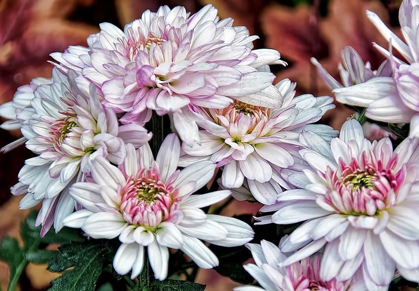 Подкормка садовой хризантемы фото описание