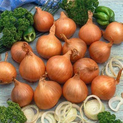 Лучшие сорта голландского лука: посадка и уход