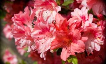 Азалія садова: вічнозелена та листопадна