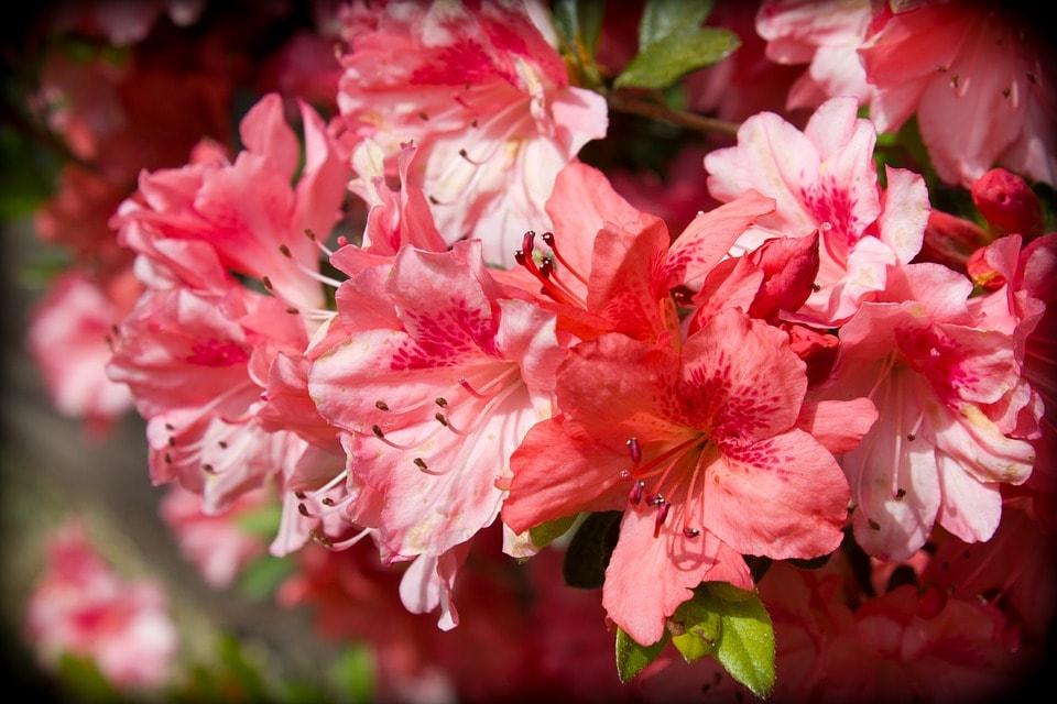 азалія садова фото опис переглянути