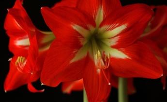 Гиппеаструм не цветет, только листья. Почему?