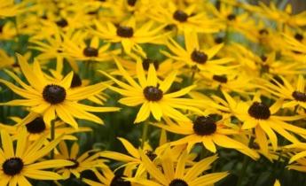 Літні багаторічники жовтого, помаранчевого або червоного кольорів
