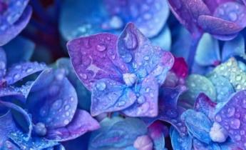 Почему не цветут гортензии?