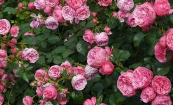 Сад роз непрерывного цветения