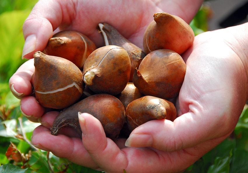луковицы тюльпнов дешево фото описание