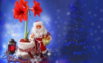 Амариліс — ідеальний подарунок на Різдвяні свята!
