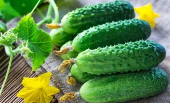 Преимущества пчелоопыляемых и самоопыляемых огурцов