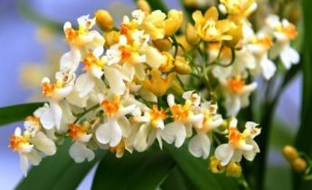 Догляд за орхідеєю