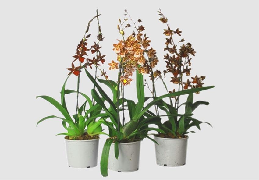 Орхидеи Top Orchids и как за ними ухаживать фото описание