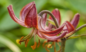 Лілії Мартагон: вирощування та догляд
