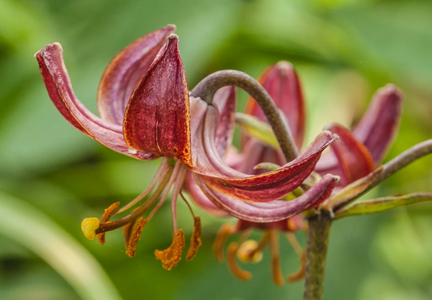 Лілії Мартагон: вирощування та догляд фото опис