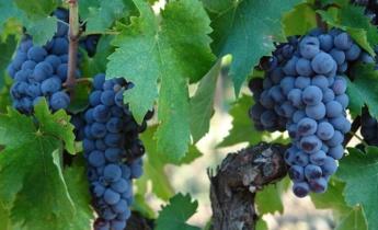 Выращивание столовых сортов винограда