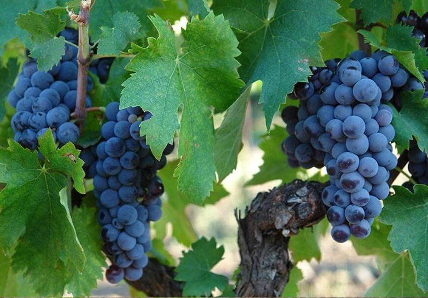 Выращивание столовых сортов винограда фото описание