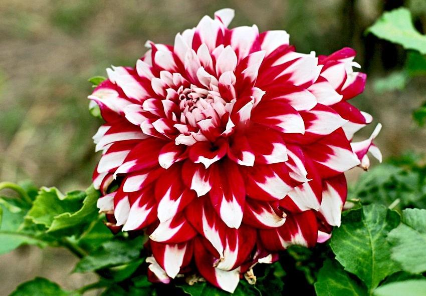 Ботаническое описание декоратифных георгин фото