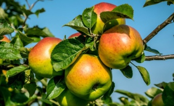 Летняя подкормка плодовых кустарников и деревьев без особых затрат