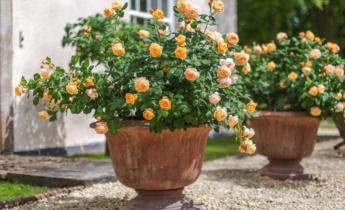 Як вирощувати троянди в горщиках новачкам в садівництві?
