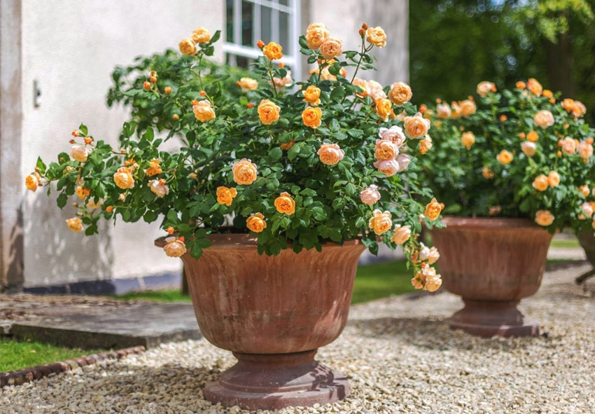 Як вирощувати троянди в горщиках новачкам в садівництві фото опис