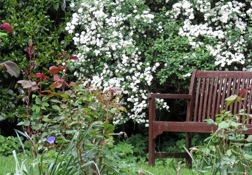 Cпірея в саду і на клумбі фото опис