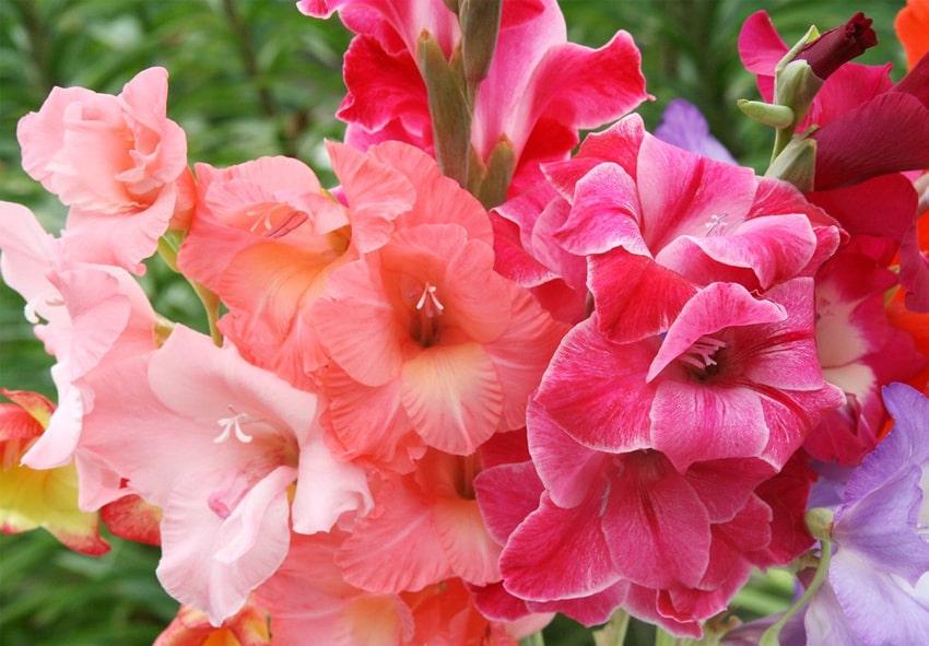 Особливості вирощування Великоквіткових гладіолусів фото опис