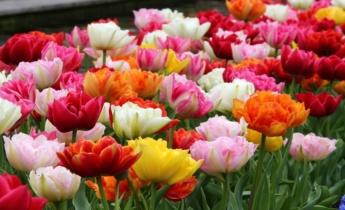 Топ 10 Ранних Махровых Тюльпанов