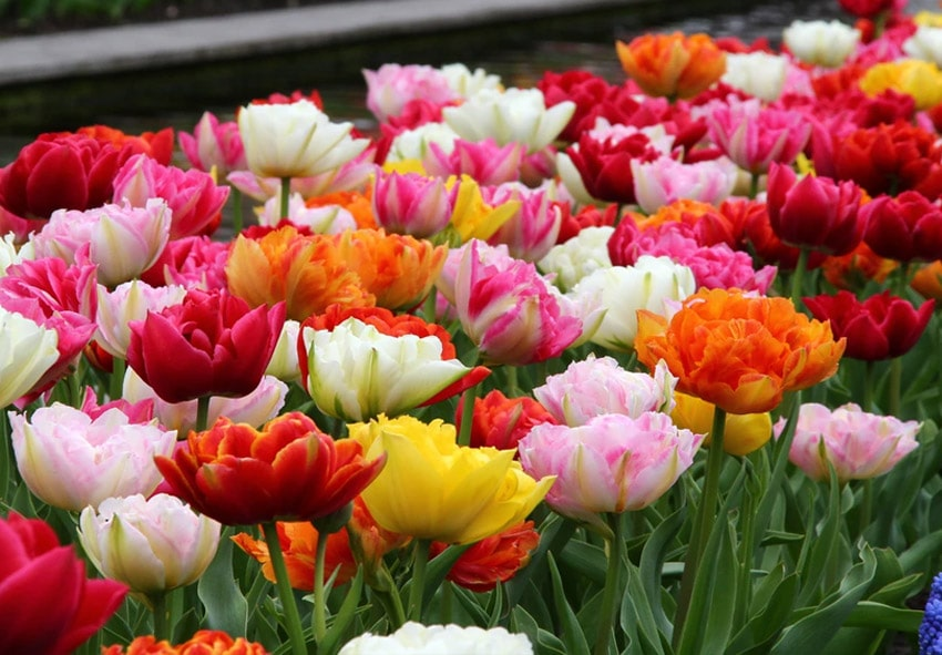 Топ 10 Ранних Махровых Тюльпанов фото описание