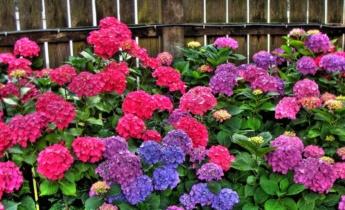 Как удобрить гортензии для пышного цветения?