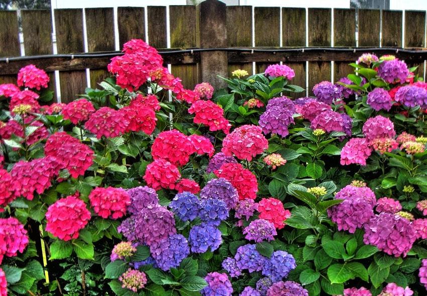 Как удобрить гортензии для пышного цветения? фото описание