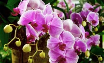 Как реанимировать орхидею в домашних условиях?