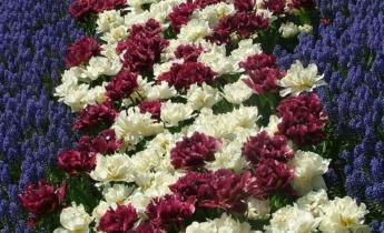 Топ 10 сортов поздних махровых тюльпанов