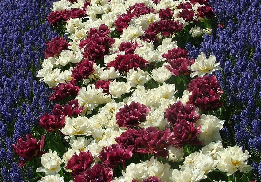 Топ 10 сортов поздних махровых тюльпанов фото описание