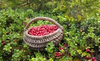 Большой урожай брусники в Вашем саду