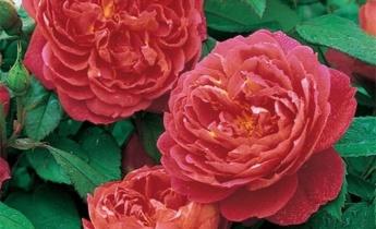 Кустовые розы — посадка, выращивание и уход за розой